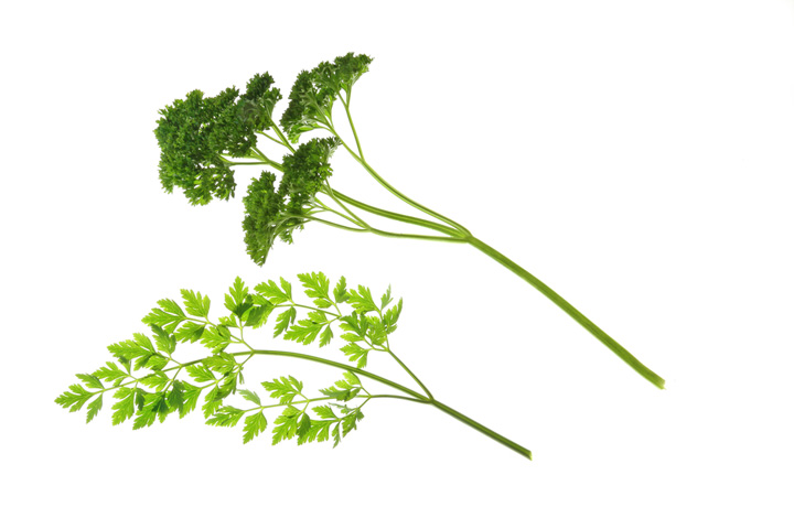 Flat-leaf and Curly-leaf parsley